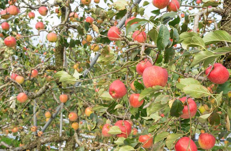 사과로 유명한 장수