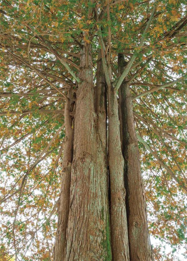 홉 줄기로 자란 상이암 화백나무
