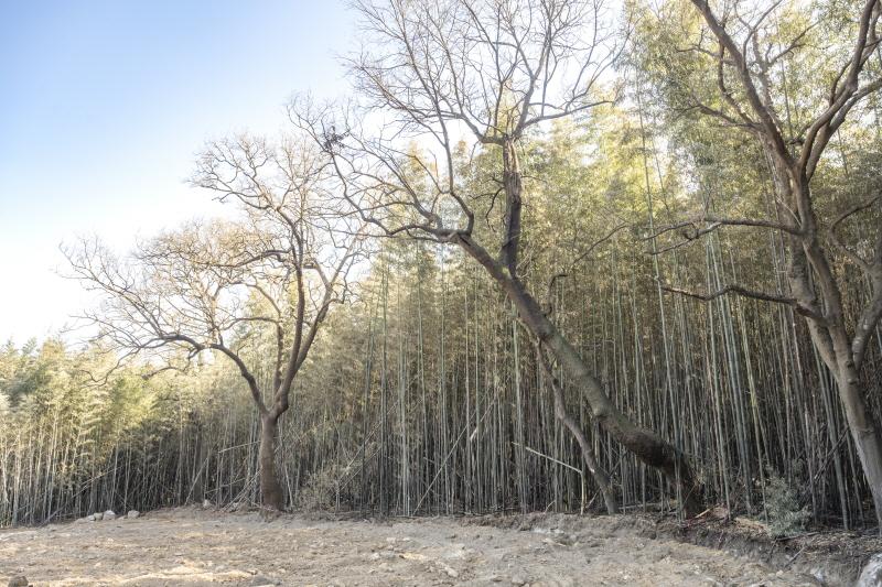냉해를 입었던 구룡마을 대나무숲은 마을의 보살핌으로 다시 건강해졌다 ©JBESC