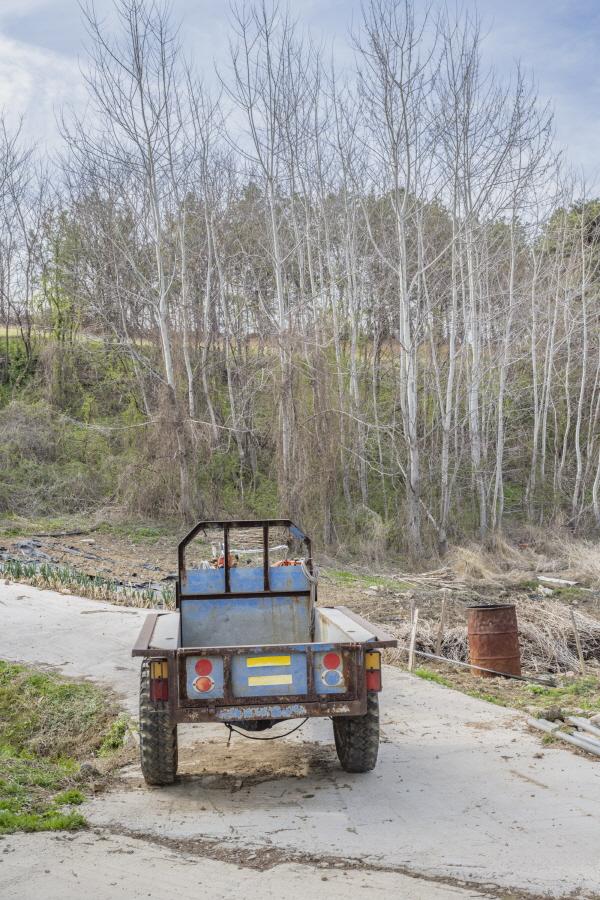 방풍림 역할을 하는 자작나무